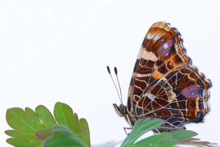 Isolated butterfly on white background (Araschnia levana)