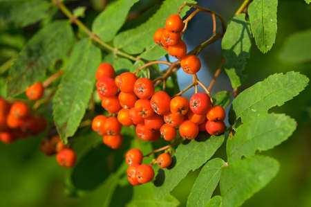 Closeup of ashberries in forest