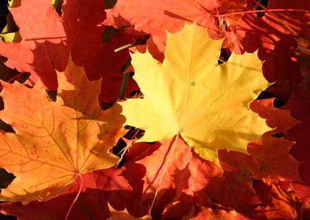 Colored maple autumn leaves Zdjęcie Seryjne