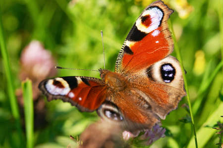 incest: Butterfly on green grass - Emperor moth (Saturnia)