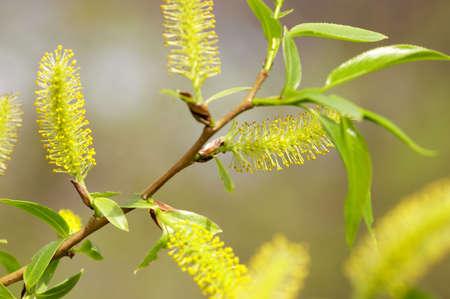 Closeup of willow flowers Zdjęcie Seryjne