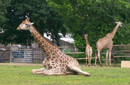 Giraffe family in zoo