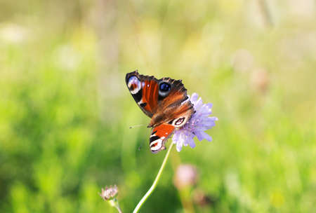 incest: Butterfly on green grass - Emperor moth (Saturnia)