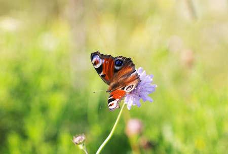 Butterfly on green grass - Emperor moth (Saturnia)