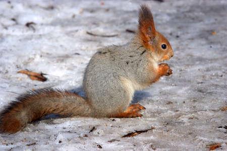 Red squirrel in snow Zdjęcie Seryjne