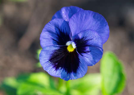 Blue flower - closeup of pansy in garden