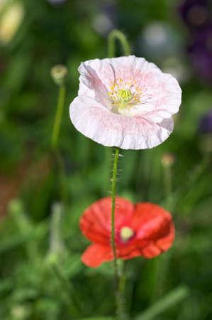 Closeup of white poppy in front of the red poppy Zdjęcie Seryjne