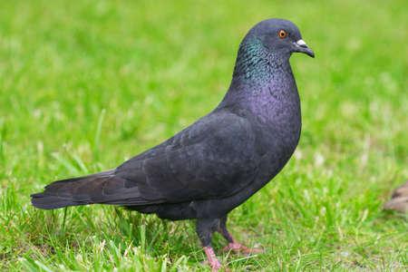 Closeup of pigeon on green grass Zdjęcie Seryjne