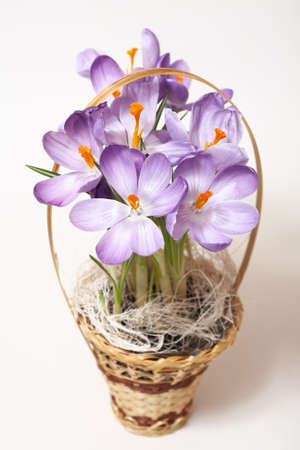 Closeup of crocuses on white background with light shadow