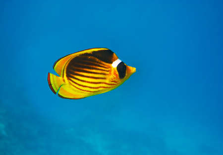 Closeup of Butterfly fish - Chaetodon austriacus - Underwater shot, Red Sea, Sinai, Egypt photo