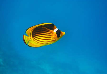 Closeup of Butterfly fish - Chaetodon austriacus - Underwater shot, Red Sea, Sinai, Egypt