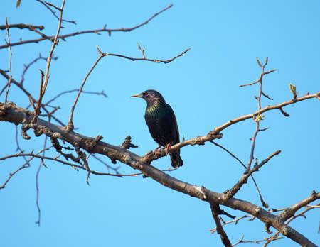 Starling on branch in spring garden. Closeup of black bird on tree