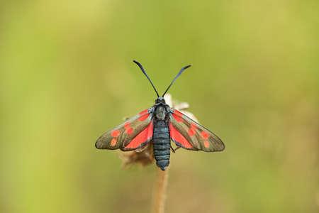 zygaena: Closeup of butterfly - Zygaena trifolii (Esper, 1783). Shallow focus depth, blur background