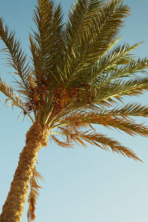 Closeup of date palm tree on blue sky photo