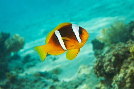 Clown Fish, blue water, coral reef - Amphiprion bicinctus. Red sea anemonefish. Red Sea, Sinai, Egypt.