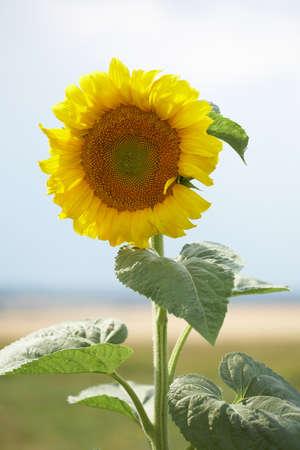 Closeup of yellow sunflower in green field Zdjęcie Seryjne