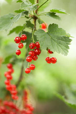 Closeup of red berries - twig of redcurrant in orchard