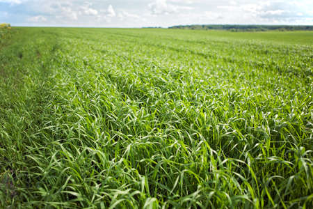 Green grass background - cultivated land with wheat sprouts (corn shoots)