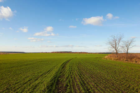Winter grain crops green field background and two trees