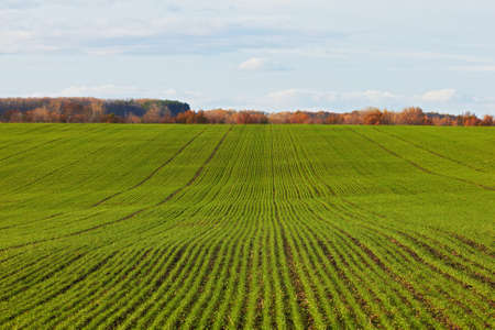 Winter grain crops green field background - distant shot Stock Photo - 11377554