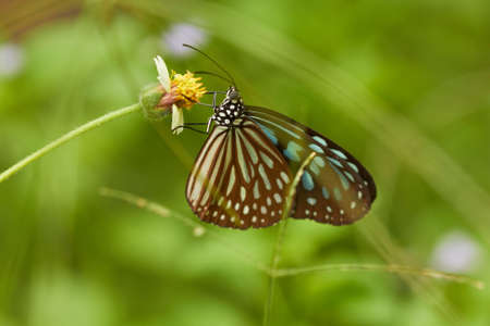 Tropical butterfly on yellow flower in green grass. Shallow focus depth on butterfly