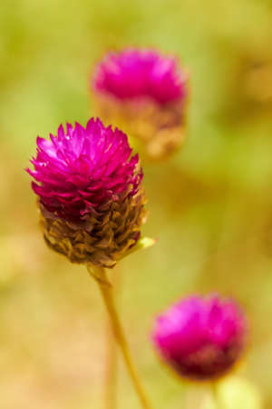 Closeup of pink tropical flowers in meadow. Shallow focus depth on front flower