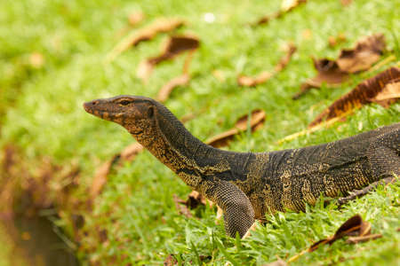 Closeup of monitor lizard - Varanus on green grass (Varanidae) Stock Photo