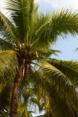 Tropical coconut palm on sunny blue sky - Thailand Stock Photo