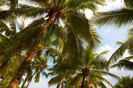 Tropical coconut palms on sunny blue sky - Thailand