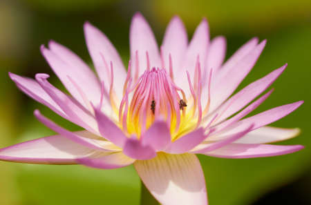 Closeup of pink lotus tropical flower. Shallow focus depth on center of flower