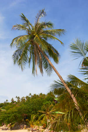 High tropical coconut palm on sunny beach and blue sky - Thailand