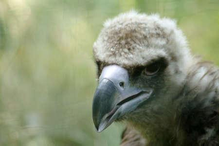 griffon: Griffon vulture - young