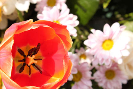 red tulip and pink chrysanthemums photo