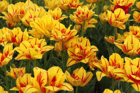 flower-bed of yellow - red tulip