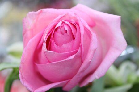 Bud de una rosa rosa