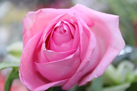 Bud of a pink rose