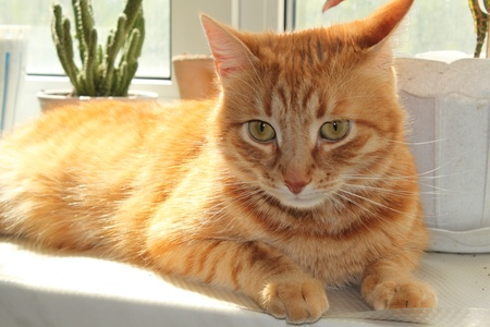 attentively: attentively red cat