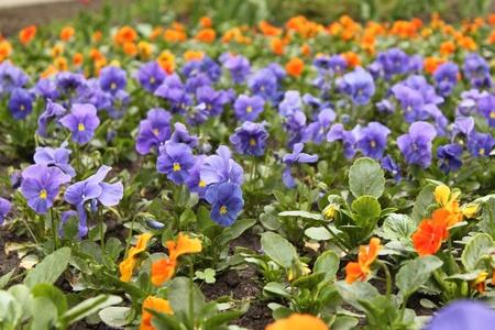 massif de fleurs: flower-bed of viola