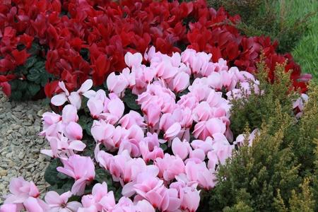 massif de fleurs: Plate-bande de cyclamen Banque d'images