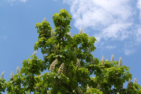 Branch of a chestnut against the sky Stock Photo