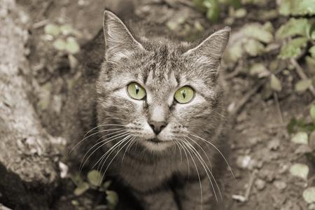 interrogatively: Wild cat, portrait. part sepia Stock Photo