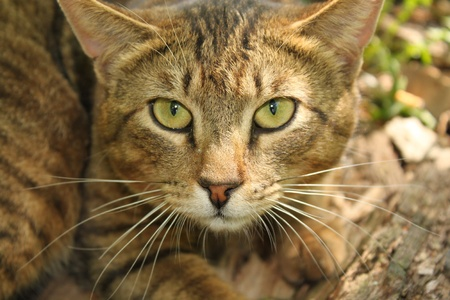 Wild cat. portrait photo