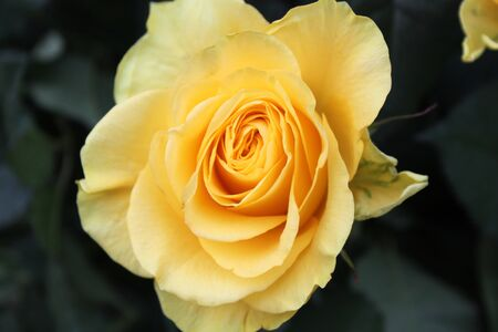 rosa amarilla Foto de archivo
