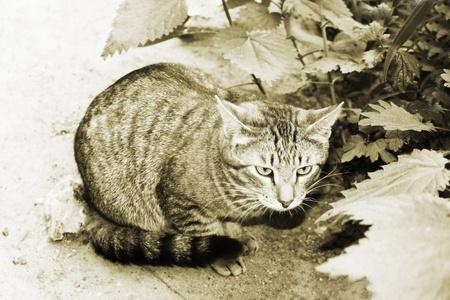 Wild wicked cat. Sepia photo