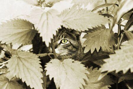 Yellow cats eye in foliage. sepia photo