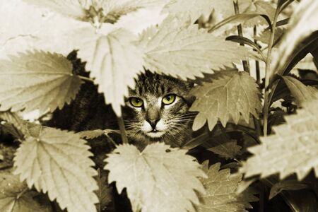 cat with yellow eyes in foliage. sepia photo