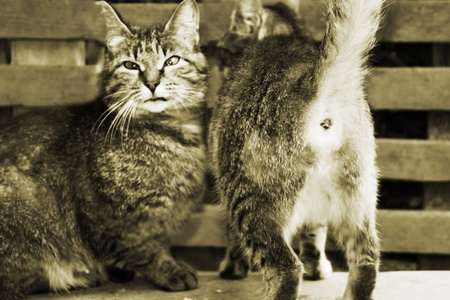 Two cats on a bench. One poses and looks in a shot, another has turned away and has lifted a tail upwards Stock Photo