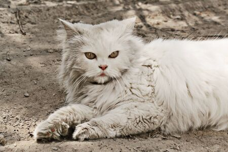 white persian cat lies in a shade Stock Photo