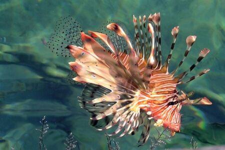 pterois volitans: red ashkey (Pterois volitans), striped ashkey, fish-zebra