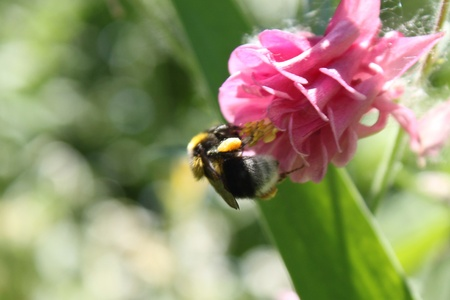 Bumblebee and a flower photo
